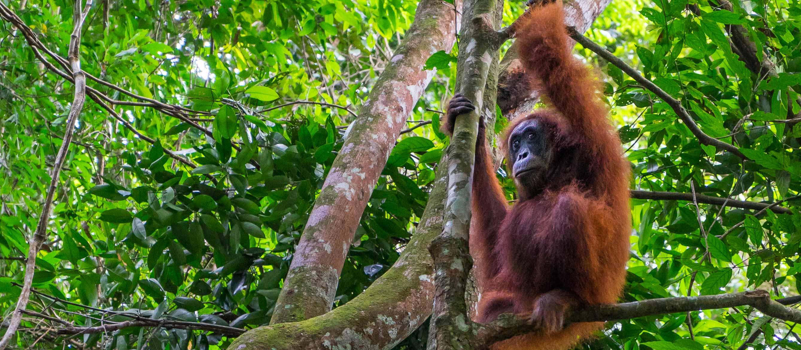 Bukit-Lawang-Orangutans-Featured