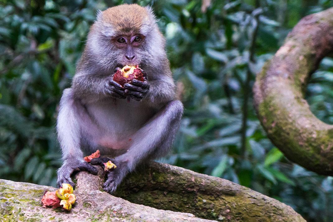 Bukit Lawang Orangutans Monkey Eating