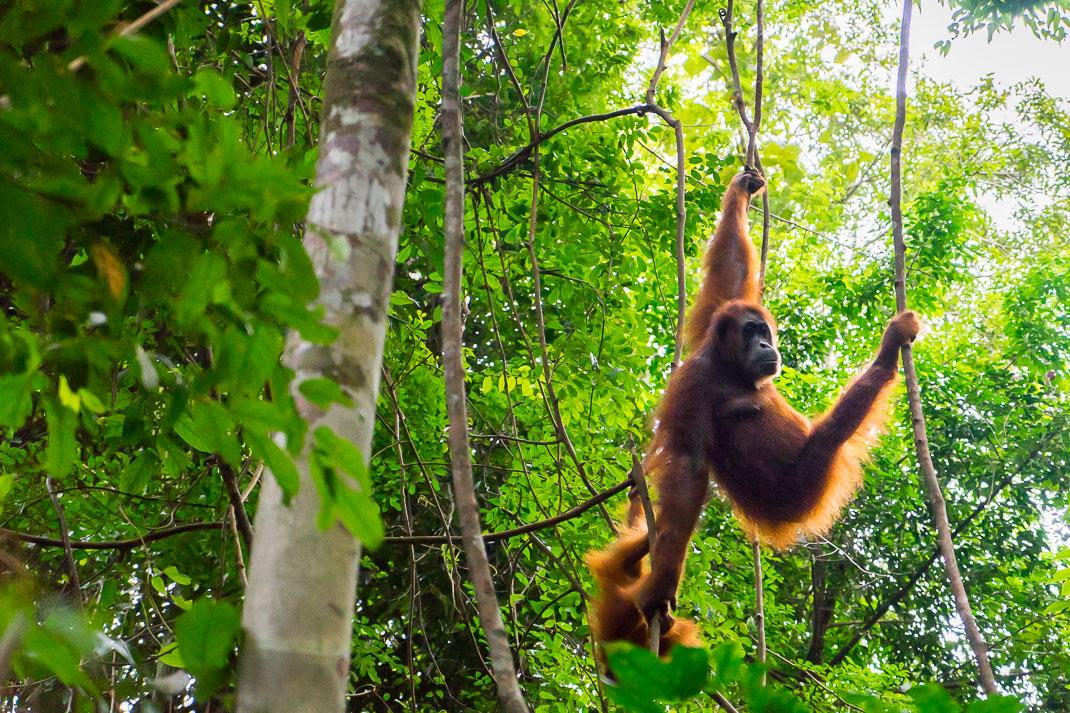 Bukit Lawang Orangutans Mother Baby