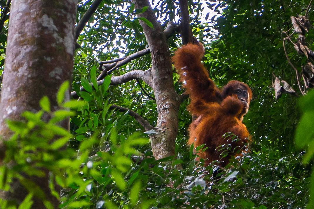 Bukit Lawang Orangutans Mother Swinging