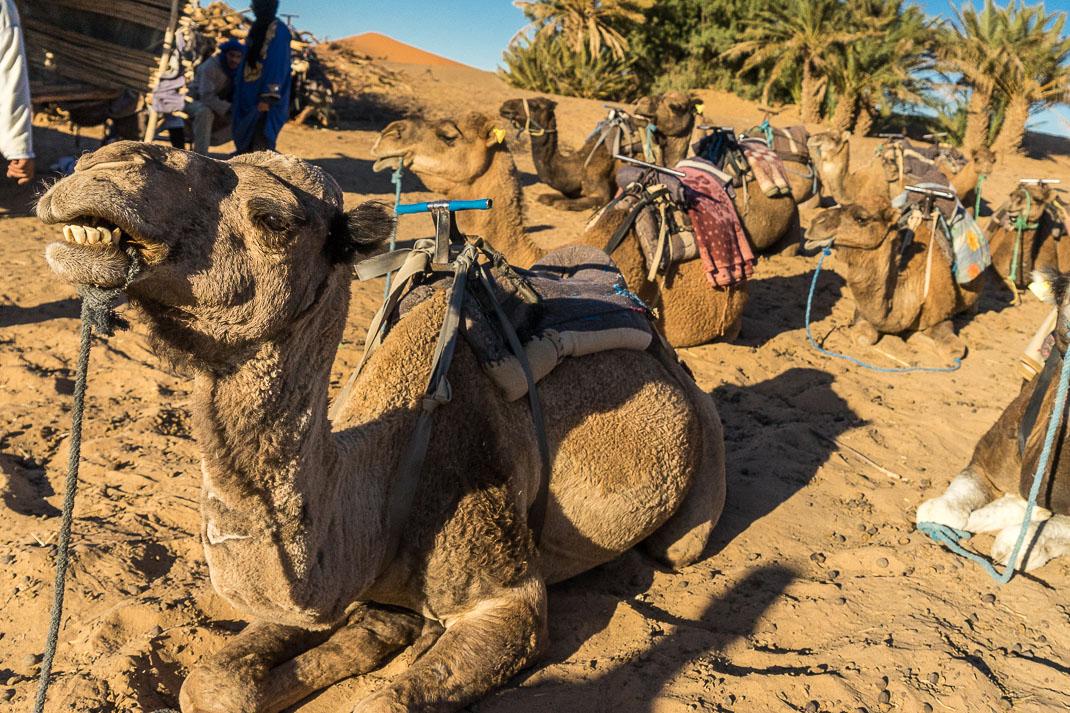 Sahara Camel Group