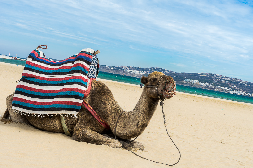 Tangier Beach Sitting Camel